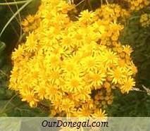 Donegal Autumn Wildflowers:  Ragwort  (Gaelige:  Buachalán Buí)
