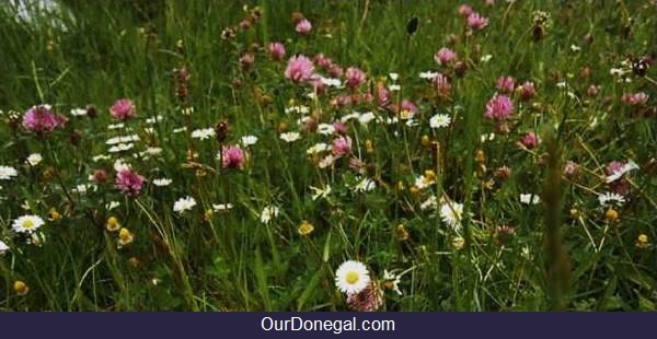 Nóiníní, Seamair Dhearg, (Daisies, Red Clover) Summer Wildflowers Of Donegal