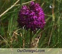 Donegal Summer Wildflowers:  Pyramidal Orchid  (Gaelige:  Magairlín na Stuaice)