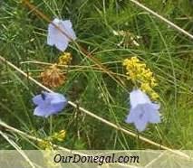 Donegal Autumn Wildflowers:  Harebell  (Gaelige:  Méaracán Gorm)