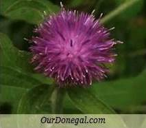 Donegal Autumn Wildflowers:  Knapweed  (Gaelige:  Mínscoth)