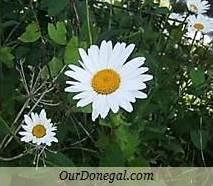 Donegal Summer Wildflowers:  Oxeye Daisy  (Gaelige:  Nóinín Mór)