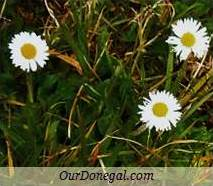 Donegal Autumn Wildflowers:  Daisy  (Gaelige:  Nóinín)