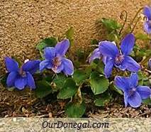Donegal Spring Wildflowers:  Dog Violet  (Gaelige:  Sailchuach)