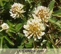 Donegal Summer Wildflowers:  White Clover  (Gaelige:  Seamair Bhán)