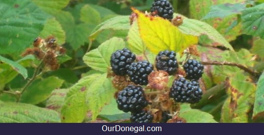 Wild Blackberries Formed Part Of The Mesolithic Diet