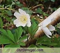Donegal Spring Wildflowers:  White Anemone  (Gaelige:  Anamóine)