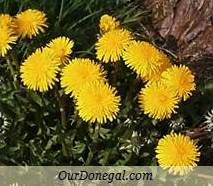 Donegal Spring Wildflowers:  Dandelion  (Gaelige:  Caisearbhán)