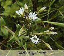 Donegal Spring Wildflowers:  Chickweed  (Gaelige:  Fliodh)