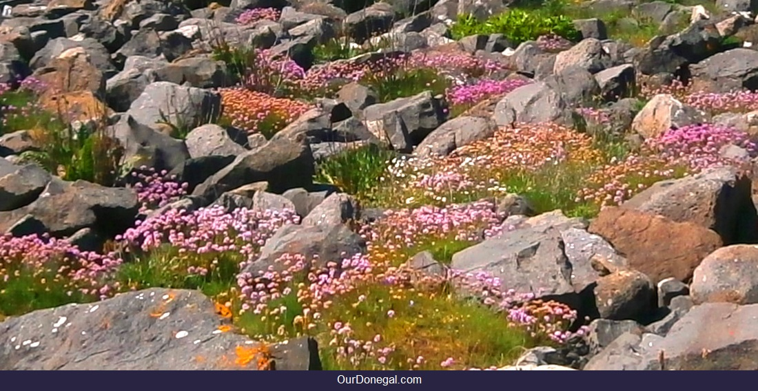 Sea Pinks Among Rocks On St Johns Point Donegal Wildflowers For Id